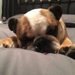 Dexy, my bulldog, sleeping on my bed
